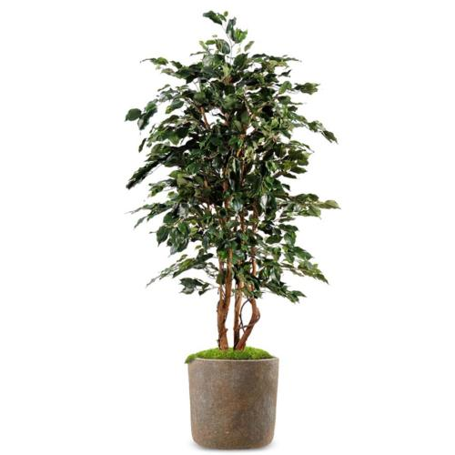 Ficus Exotique Artificiel Arbre en pot multitroncs naturels H 210 cm