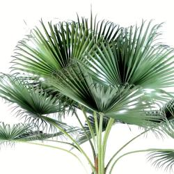 Chamaerops Washingtonia Artificiel Palmier H 690 cm