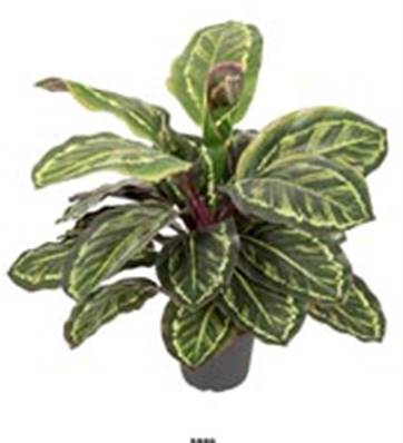 Plante Maranta Artificiel en pot H 45 cm